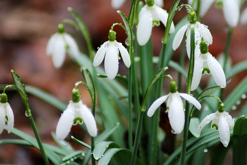 Snowdrop, Flowers, Nature, Forest, Spring