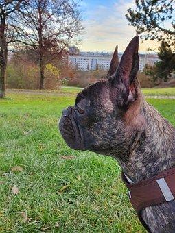 Dog, Bulldog, Frenchie, Puppy, Cute, Pet, Animal, Face