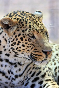 Leopard, Tasks, Whiskers, Predator, Cat, Nature, Fur