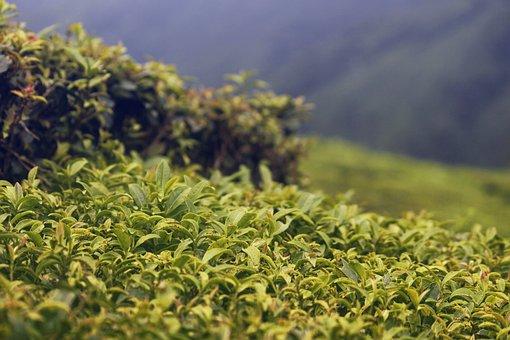 Tea Garden, Tea, Garden, Sage, Plant
