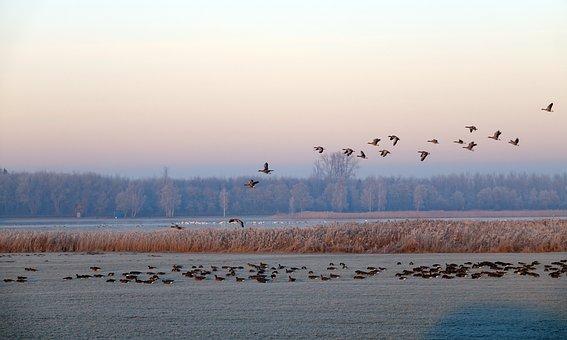 Winter, Snow, Ice, Geese, Water Birds, Winter Landscape