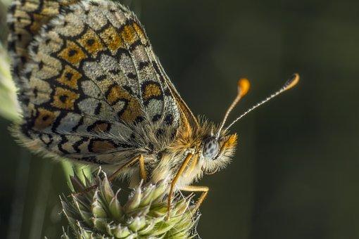 Glanville Fritillary, Melitaea Cinxia, Butterfly