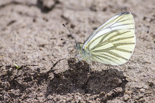 Green-veined White, Pieris Napi, Butterfly, Soil
