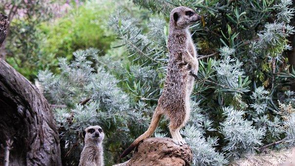Meerkats, Animals, Guard, Cute, Curious
