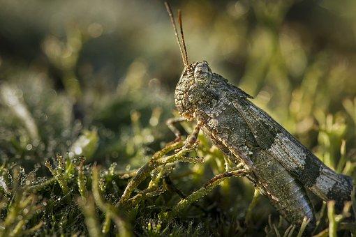 Grashopper, Insect, Grasshopper, Green, Closeup, Macro