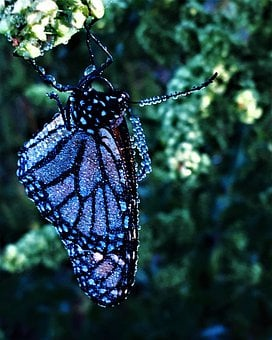 Butterfly, Jewelled Butterfly, Nature, Precious