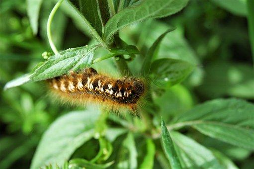 Caterpillar, Brown, Furry, Hairy, Legs, Moth, Butterfly