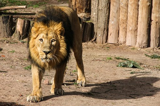 Animal World, Lion, Predator, Big Cat, Africa