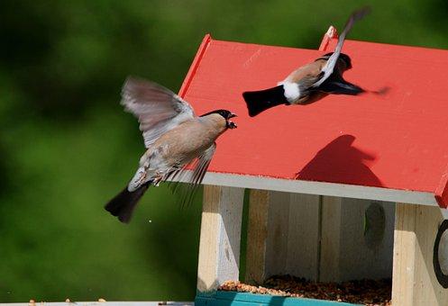 Bullfinch, Male, Birds, Garden, Feed