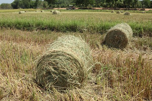 In The Field, Rice Roll, Multiple, Lines, Harvest