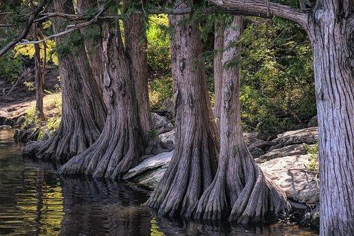 Cypress, Tree, Roots, Nature, Texas, Austin, Atx, River