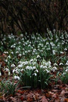 Schneeglocken, Flowers, Nature, Forest