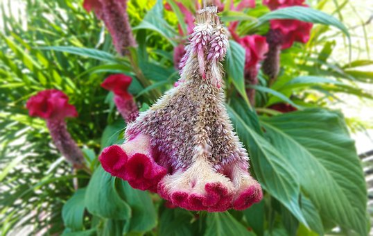 Flower, Cockscomb, Celosia, Plant, Tropical, Herbaceous