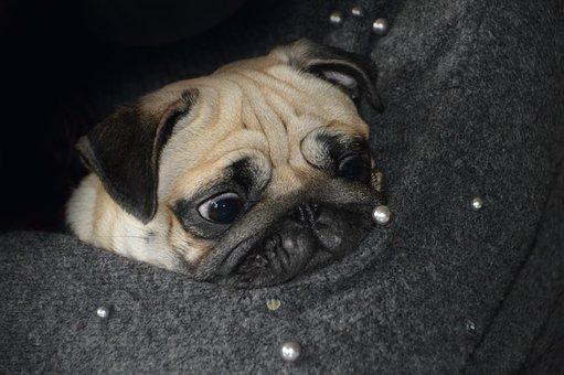 Carlin, Dog, Race, Cute, Face, Puppy, Funny, Small