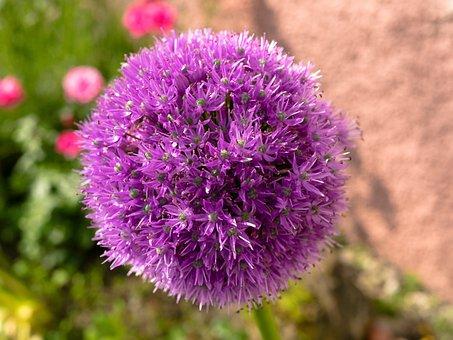 Ornamental Onion, Blossom, Bloom, Allium, Bloom, Purple