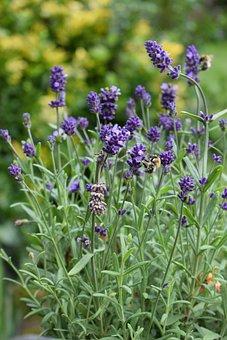 Lavender, Summer, Bee, Herbs, Purple
