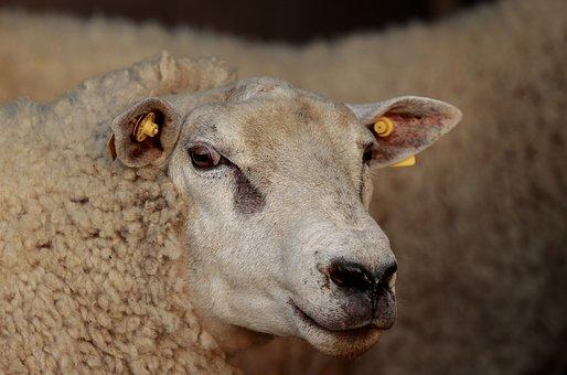 The Sheep, Ram, Villa, Aries, Mammal, Sheep, Texel