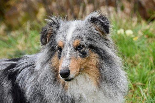 Dog, Bitch, Dog Portrait, Shetland Sheepdog