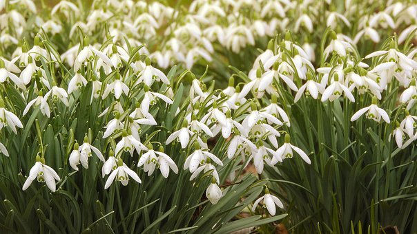 Snowdrops, Spring Flowers, White Flowers