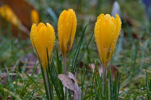 Crocus, Yellow, Spring, Rain, Raindrop, Wet, Nature