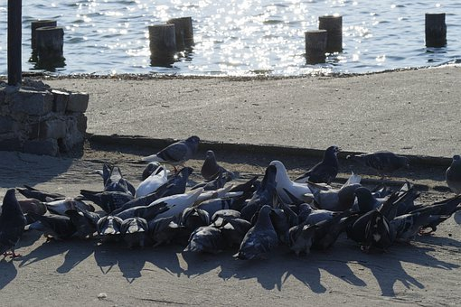 Pigeons, Birds, Group, The Crowd, Eating, Sun, Shadows