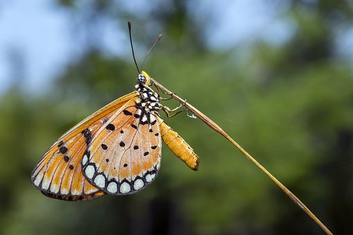Plain, Tiger, Danaus, Chrysippus, Butterfly, Tropical