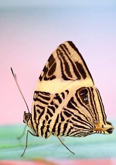 Butterfly, Tropical, Exotic, Insect