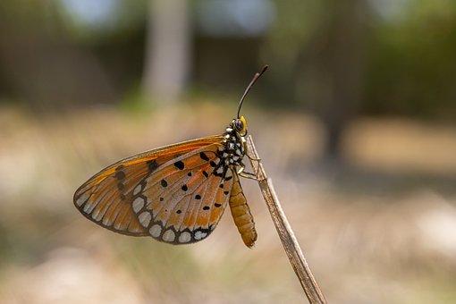 Plain, Tiger, Danaus, Chrysippus, Butterfly, Tropical