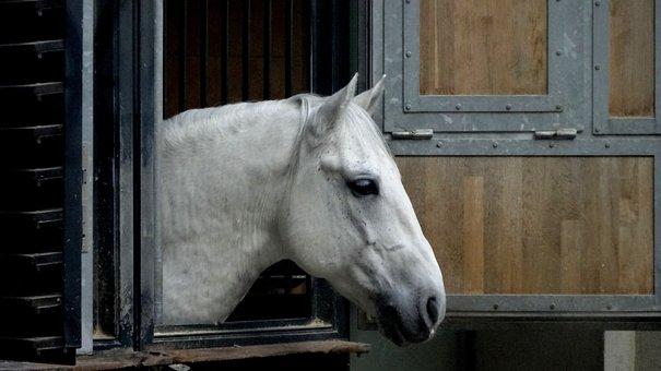 Horse, Lipizzaner, Riding School, Vienna