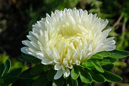 Aster, Flower, White, Plant, Garden, Summer, Nature