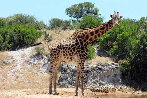 Giraffe, Tasks, Long Shot, Height, Africa, Wild, Nature