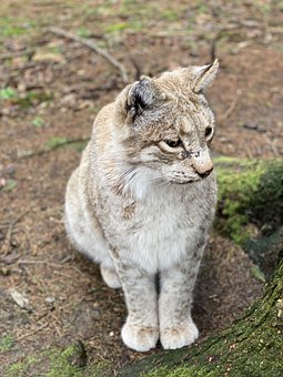 Lynx, Wildlife Park, Big Cat, Wildcat