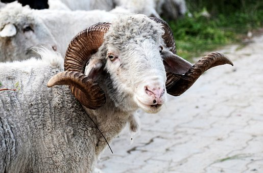 Sheep, Ram, Horns, Wildlife, Mammal