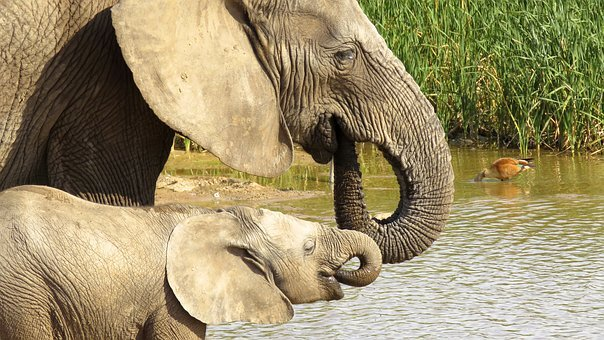 Addo Elephant Park, Elephant, Africa, Mammal, Animal