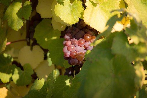 Wine, Grapes, Vine, Leaf, Autumn, Green, Red
