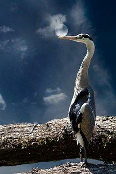 Grey Heron, Bird, Animal, Nature, Moon, Mood, Eastern