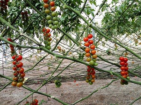Bouquet, Tomato, Plant, Entuturado, Driving, Guide