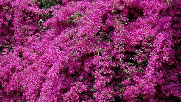 Creeper, Flowers, Bright, Purple-pink, Floriferous