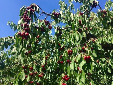 Cherry Tree, Cherries, Fruits, Cherry, Tree, Nature