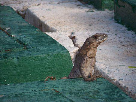 Lizard, Curious, Lookout, Reptile, Wildlife, Nature