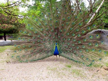 Peacock, Peacock Wheel, Bird, Animal, Beat Rad, Feather