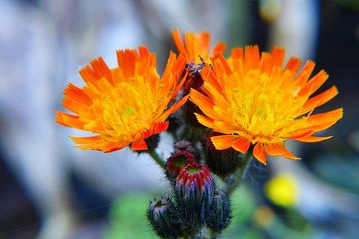 Hawkweed, Red Orange Hawkweed, Flower, Orange