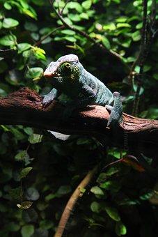 Chameleon, Green, Leaves, Lizard, Nature