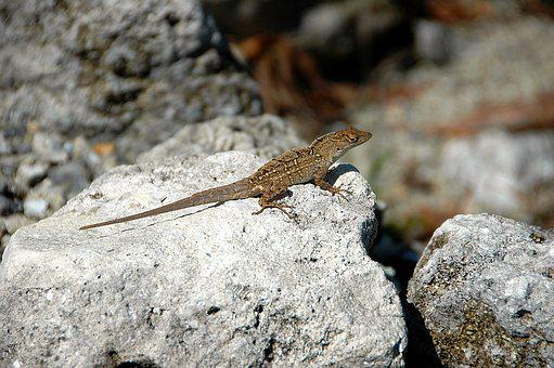 Lizard, Reptile, Wildlife, Animal, Nature, Wild