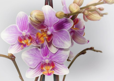 Phalaenopsis, Purple, Orchid, Farbenpracht, Bloom