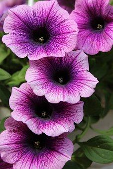 Petunia, Purple, Flowers, Blossom, Bloom, Nature