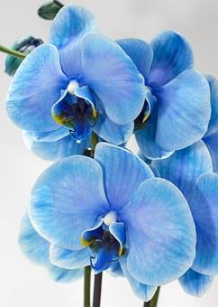 Orchid, Blue, Phalaenopsis, Colored, Floral, Flower
