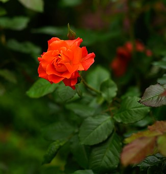 Flower, Blossom, Bloom, Rose, Red, Nature, Plant