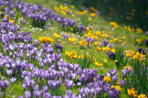 Crocus, Spring, Blossom, Bloom, Flowers, Meadow, Summer
