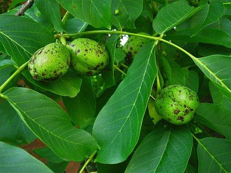 Walnuts, Walnut Tree, Immature, Grow, Walnut, Green